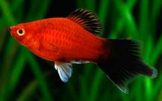 Рыбка пецилия: содержание, уход, виды аквариумной (баллон, черная, красная, редиска, дисковая), совместимость