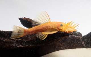 Анциструс золотой (альбинос, аквариумный желтый сом, белый): содержание, совместимость, размножение, фото, отзывы, аквариум, продолжительность жизни