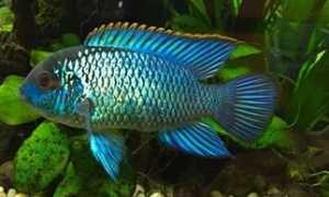 Блю неон (наннакара электрик, голубая цихлида): содержание, совместимость с другими рыбками, размножение (разведение)
