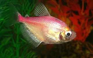 Тернеция карамелька (цветная): содержание аквариумной рыбки, с какими рыбками можно держать, уход, фото, разведение