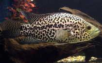 Манагуанская цихлазома (цихлида ягуар): содержание рыбки, уход, кормление, совместимость, размножение, болезни