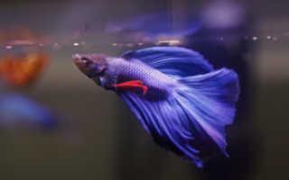 Размножение петушков: самка (девочка), мальки рыбки, определить пол (отличия) в аквариуме, беременность, самец