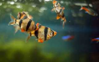 Барбус суматранский: размножение, содержание, совместимость с другими рыбками, разведение, нерест, болезни, уход, сколько живут