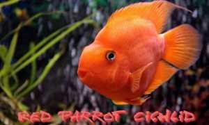 Рыба попугай (аквариумная цихлида): содержание, уход, совместимость с другими рыбками, сколько живут в аквариуме, виды (жемчужный, японский, желтый, белая,