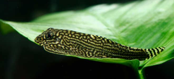 Cевилья рыбка (псевдоскат аквариумный, ложный скат): содержание, совместимость, определить пол, кормление, размножение