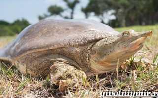 Черепаха трионикс китайский (дальневосточная): содержание, размножение, продолжительность жизни, темперамент, совместимость, половой диморфизм