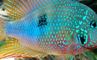 Цихлазома элиота (цихлида): содержание рыбки, совместимость, фото, продолжительность жизни, уход, аквариум, кормление