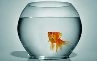 Какие рыбки могут жить без кислорода (воздуха, аэрации) и фильтра в аквариуме (петушки, гуппи, гурами)