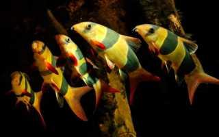 Боция клоун: содержание, совместимость рыбки, уход, виды (разновидности)