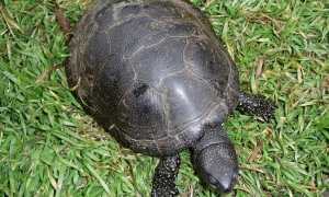 Европейская болотная черепаха в домашних условиях (черная с желтыми пятнами): содержание, фото, кормление, уход, продолжительность жизни, условия, обогрев, спячка,