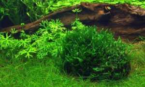Печеночные мхи (моносолениум тенерум, риччия, печеночник) в аквариуме: размножение, фото растения, содержание, описание