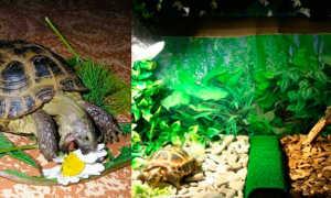Сухопутная черепаха содержание и уход в домашних условиях (как ухаживать за домашней черепашкой): правильные условия дома, фото, описание, виды,