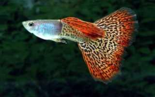 Рыбки гуппи: уход и содержание, сколько живут в аквариуме, родина, описание