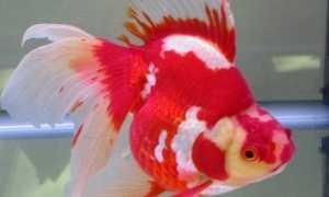 Болезни золотой рыбки: плавает кверху брюхом, лежит на дне, отваливаются чешуйки, облез хвост, всплывает, отрастают ли плавники, плавает на