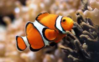 Рыба клоун в аквариуме (amphiprion percula, перкула): где живет, содержание в аквариуме, фото