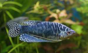 Гурами мраморный (пятнистый): содержание, размножение (разведение) в домашних условиях, отличить самку от самца, уход, продолжительность жизни аквариумной рыбки, болезни,