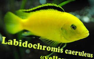 Лабидохромис еллоу (желтая цихлида с черными полосками, аквариумная рыбка колибри, labidochromis caeruleus yellow): содержание, совместимость с другими рыбками, размножение