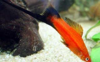Рыбки меченосцы: как выглядит, сколько живут, уход, болезни (лежит на дне), совместимость, кормление