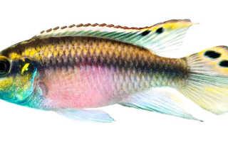 Пельвикахромис пульхера (цихлида попугай, pelvicachromis pulcher): совместимость, содержание, самец и самка, размножение рыбки