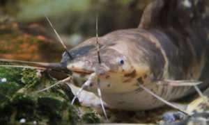 Сом клариус (клариус): содержание, виды (пятнистый, мраморный, ангослький), с кем уживается сомик в аквариуме, фото