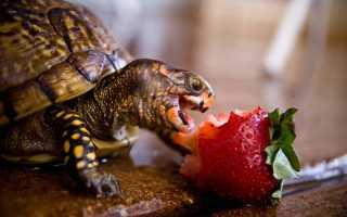 Чем кормить сухопутную черепаху в домашних условиях (что едят, чем питаются, рацион): сколько раз в день, как правильно и