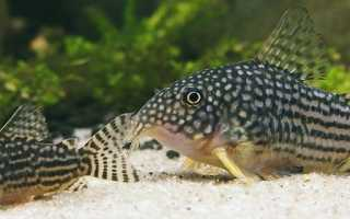 Коридорас штерба (сомик): содержание, нерест, фото, рацион, аквариум, параметры воды