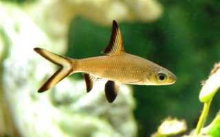 Акулий балу (барбус): содержание аквариумной рыбки, совместимость с другими рыбками, разведение, фото, уход, отзывы, цена, заболевания, нерест, кормление, параметры