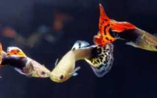 Виды гуппи (разновидности, породы и названия): по цвету (красные и королевские, синие, желтые, оранжевые), вуалехвосты, алые