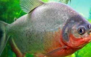Рыба паку (красный, черный, травоядная пиранья, краснобрюхий): совместимость, содержание, питание, аквариум, размножение
