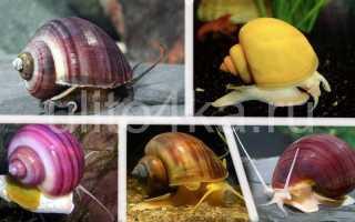 Сколько живут улитки в домашних условиях (продолжительность жизни) аквариумных видов: ампулярии, виноградной, ахатины