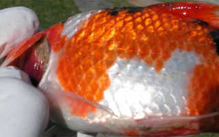 Болезни аквариумных рыб: профилактика, симптомы и диагностика, лечение