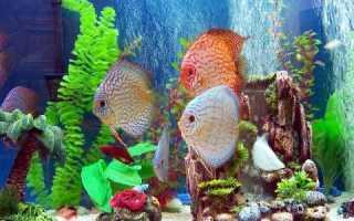 Дискусы: содержание и уход, виды, кормление авариумной рыбки, фото, разведение в домашнем аквариуме, описание