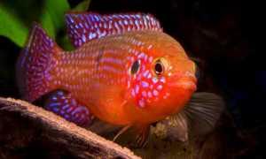 Хромис красавец: содержание, размножение (разведение), с кем уживается (совместимость аквариумной рыбки), мальки, виды (hemichromis lifalili), фото, продолжительность жизни, описание,