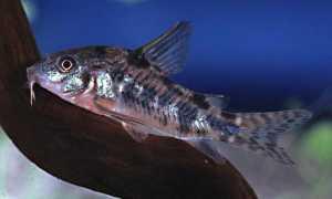 Сом коридорас: содержание, разведение сомика (размножение, нерест, отличия самки от самца, икринки, мальки, спаривание), уход, совместимость с другими рыбками,