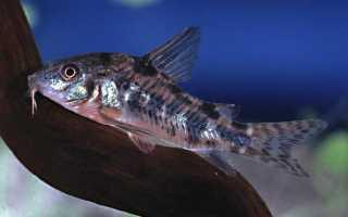 Крапчатый сомик (коридорас, пятнистый сом): содержание и уход за аквариумной рыбкой, чем кормить, отличия самки от самца, как определить