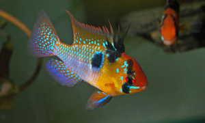 Апистограмма рамирези (хромис бабочка): содержание аквариумной рыбки, разведение, виды цихлиды (вуалевая, золотая, голд), совместимость, мальки, фото, уход, болезни, продолжительность