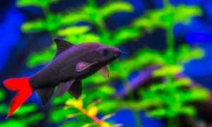Лабео (черная аквариумная рыбка с красным хвостом): виды (биколор, двухцветный, альбинос, арлекин или конголезский, зеленый, леопарды, черный), совместимость, содержание