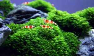 Мох феникс (fissidens fontanus, phoenix moss): содержание растения в аквариуме, описание, дизайн, размножение
