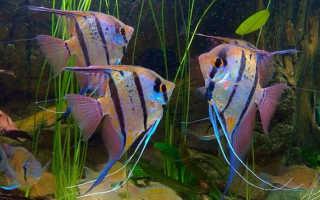 Рыбки скалярии в аквариуме: содержание, уход, кормление, описание, с кем уживаются