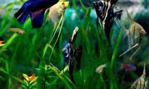Cкалярии совместимость с другими рыбками (с кем уживаются и живут в одном аквариуме, можно содержать аквариумную рыбку, кого подселить)