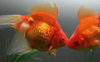 Как размножаются рыбки (разведение, спаривание аквариумных рыб): оплодотворение икры в аквариуме, способы, особенности