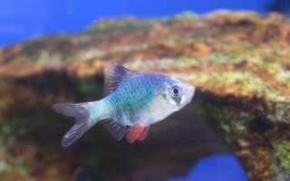 Барбус мутант суматранский (мшистый, зеленый): содержание, продолжительность жизни, размножение, стоимость, отзывы, фото