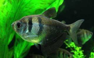 Хищные аквариумные рыбки: правила содержания (температура, фильтрация), совместимость, размножение