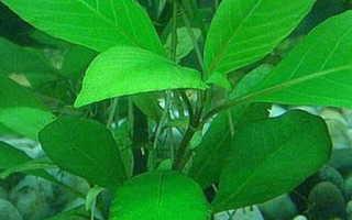 Лимонник (аквариумное растение): условия содержания в аквариуме, уход, виды, совместимость, болезни