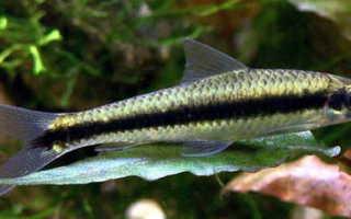 Сиамский водорослеед в аквариуме (сомик sae): содержание, разведение (размножение), путаница с рыбкой летающая лисичка, совместимость, уход, описание, продолжительность жизни,