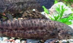 Таракатум содержание и уход за сомом: отличие самца и самки рыбки, размножение (разведение) в домашних условиях, нерест, совместимость, описание,