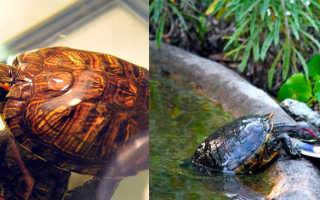 Чем кормить красноухую черепаху (что едят) в домашних условиях: корма, чем можно, питание маленьких, как часто и сколько