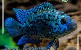 Блю демпси (рыбка цихлазома): содержание, совместимость цихлиды с другими рыбами, фото, уход, размножение (разведение), половые различия, кормление, болезни, отзывы