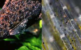 Ихтиофтириоз у рыб: описание паразита, симптомы болезни, доступные лекарства для лечения в домашних условиях