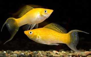 Моллинезия желтая (золотая, черно-золотая, лирохвостная): размножение, беременная самка, содержание, уход, совместимость, отзывы, продолжительность жизни, фото